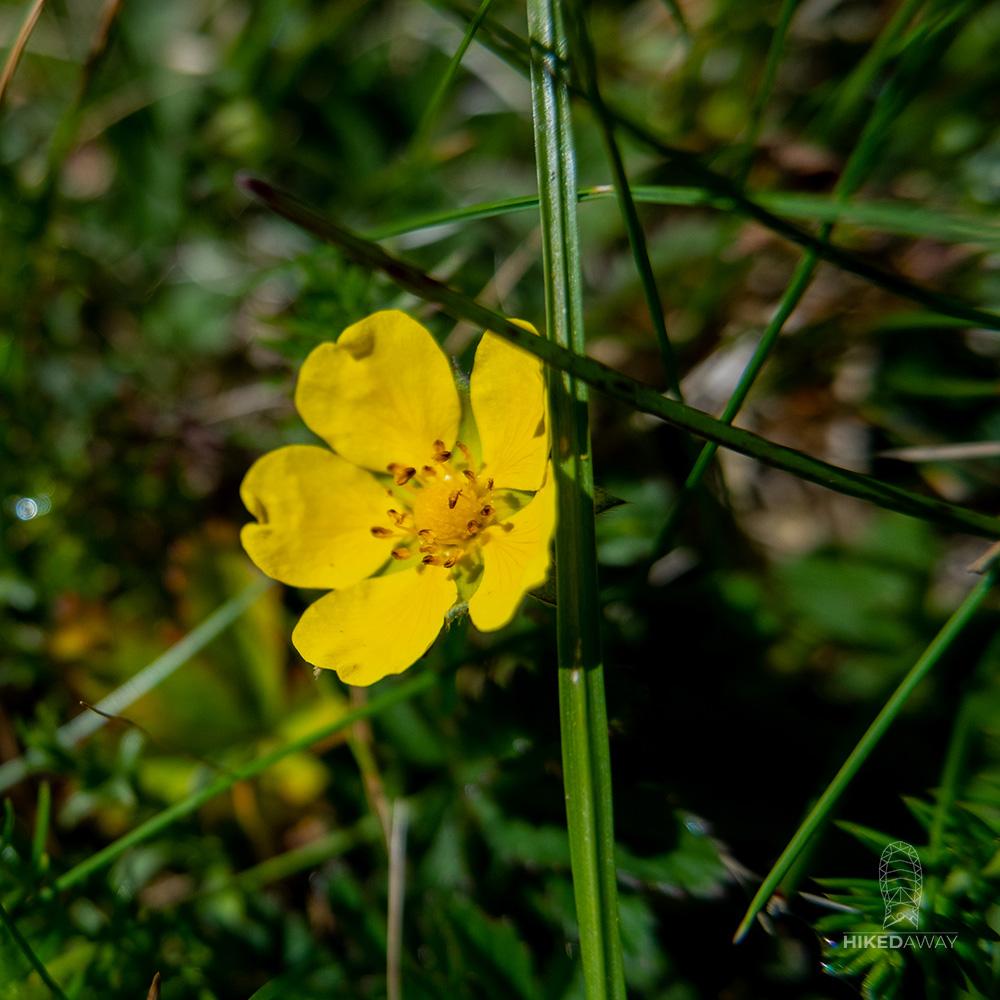 Een bloem langs het Nederlands kustpad
