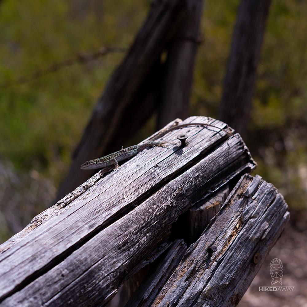 Een salamander